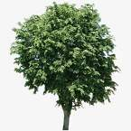 große Bäume SB5